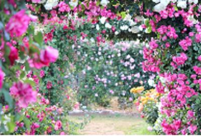 薔薇の季節にぜひ訪れたい関東のおすすめバラ園 1☆