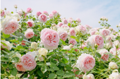 薔薇の季節にぜひ訪れたい関東のおすすめバラ園 2☆