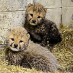日本でキングチーターのいる動物園☆姫路セントラルパークのキングチーター名前決定☆